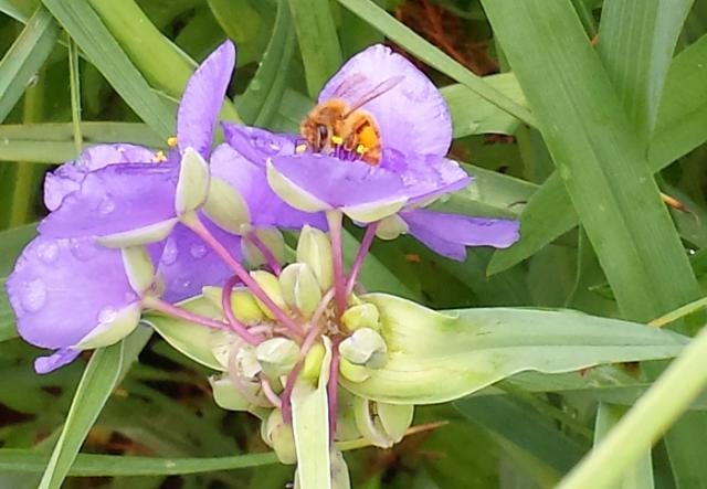 Bee in the Spiderwort by Rich Katz