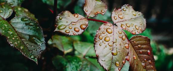 Photo of leaves wet with rain by Photo by Kelly Sikkema on Unsplash.