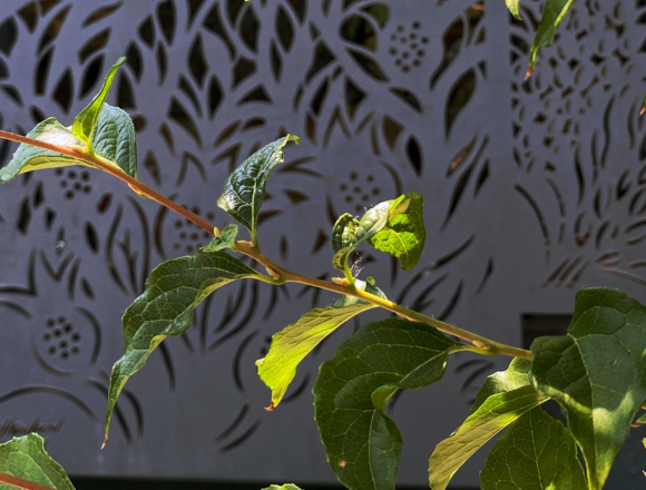 Green branch with cast iron Havurah window covering in background